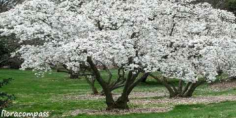 Royal Star Magnolia By Floracompass On Deviantart