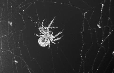 A Spider in Black and White