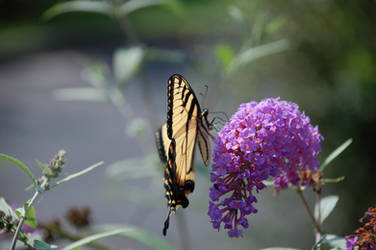 Butterfly on Butterfly Bush by sayitisntso