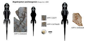 Regalerpeton weichangensis by lythronax-argestes