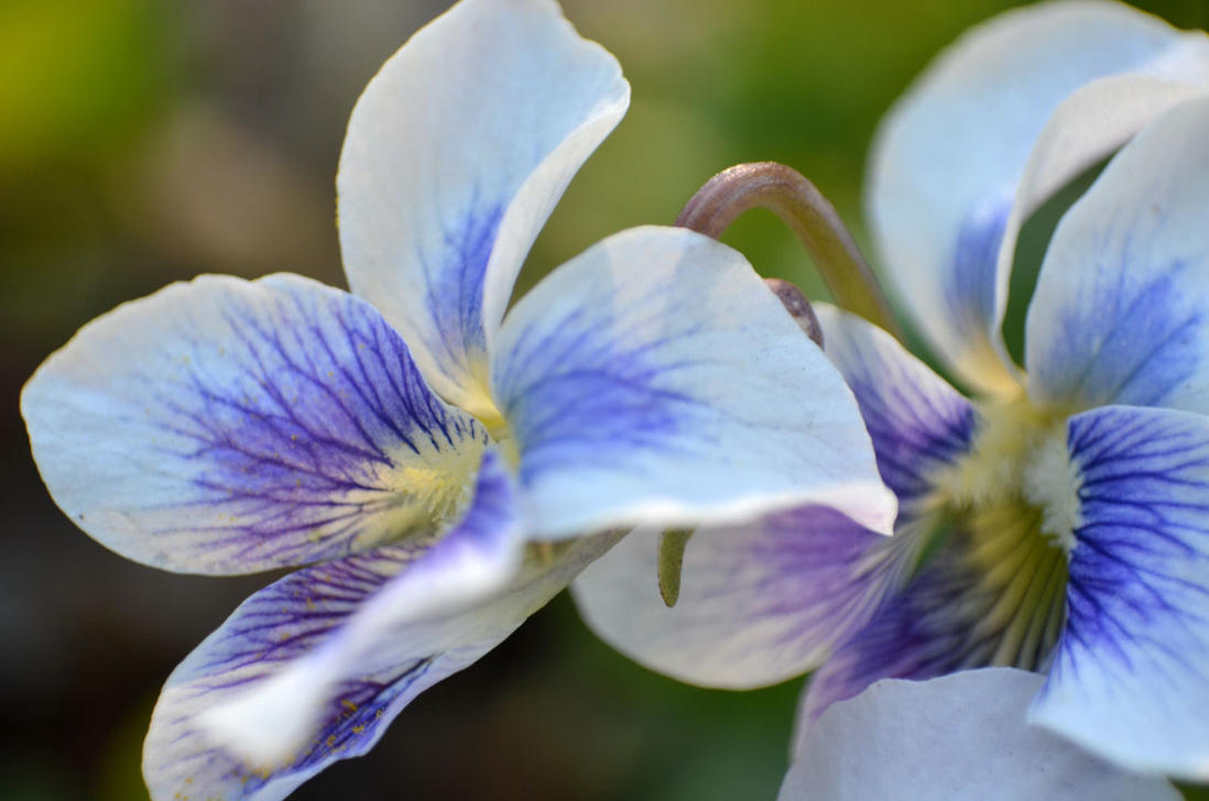 White And Blue Flowers Macro By Dxbigd On Deviantart