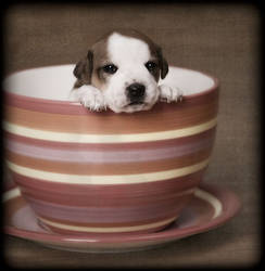 Teacup Pup