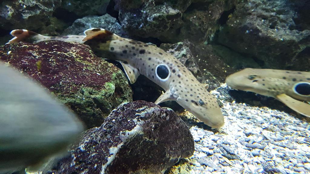 epaulette shark by MonolithSTALKER