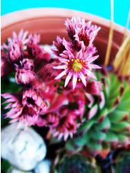 Flowering Cacti. by OursIsDead