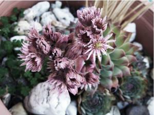 Flowering Cacti 2.
