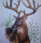 Commission 2 Uncle Tom's Deer