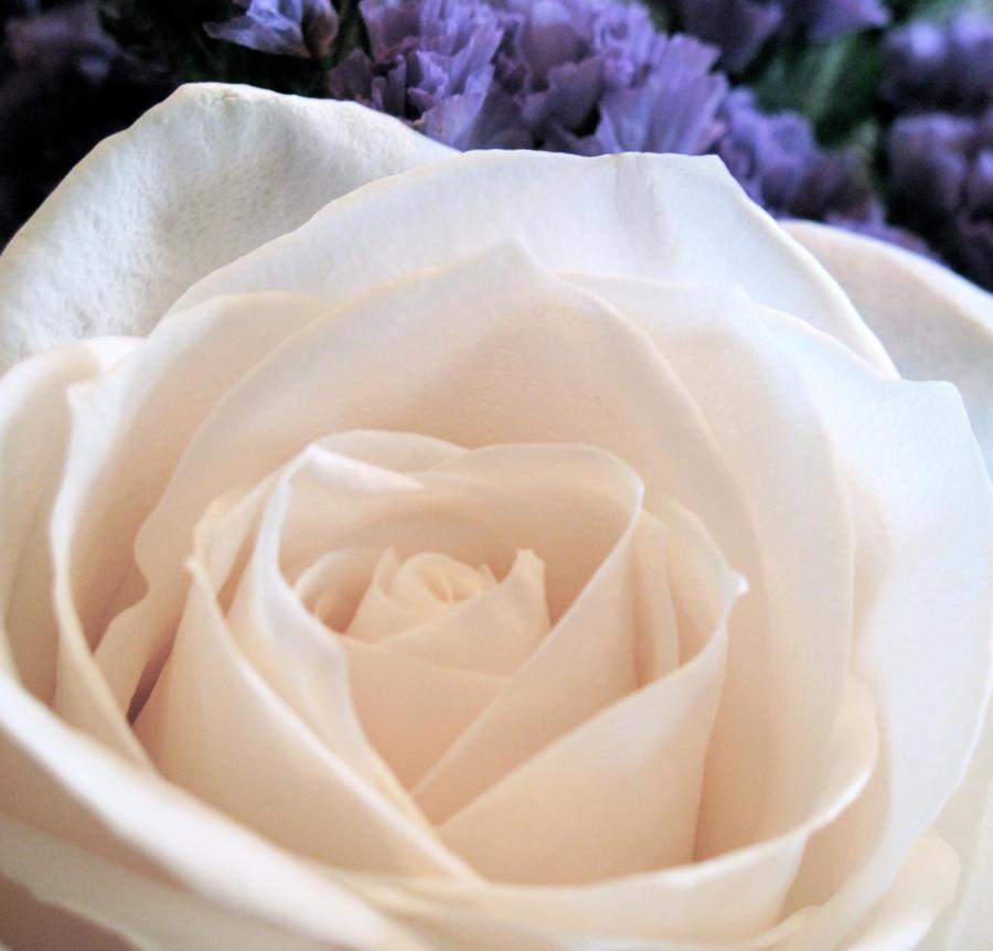 Wedding rose by JamminJo