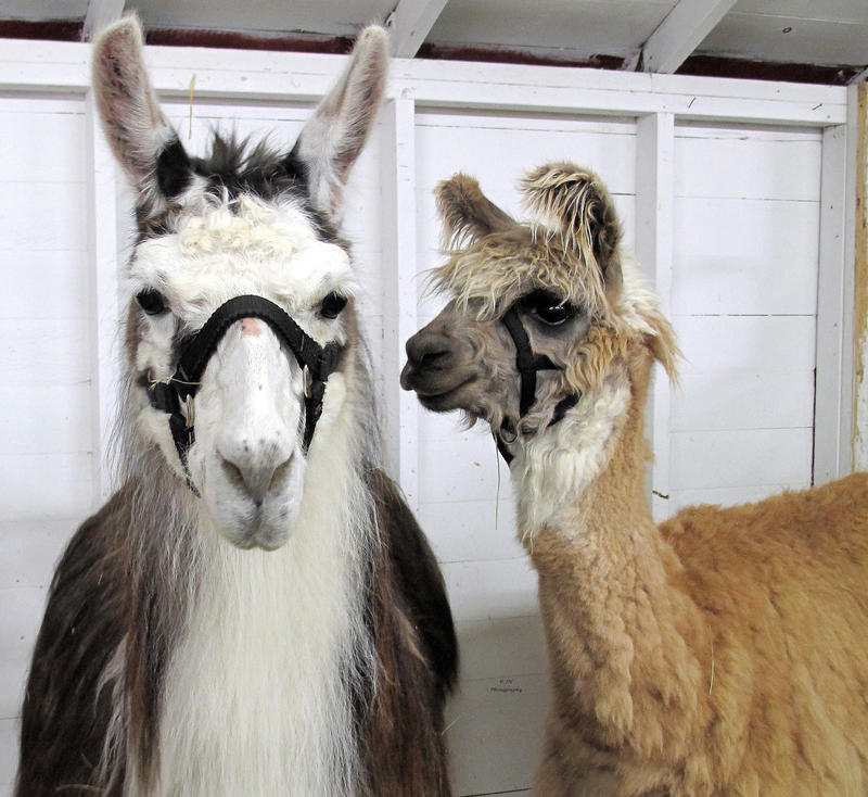 Llama's by JamminJo