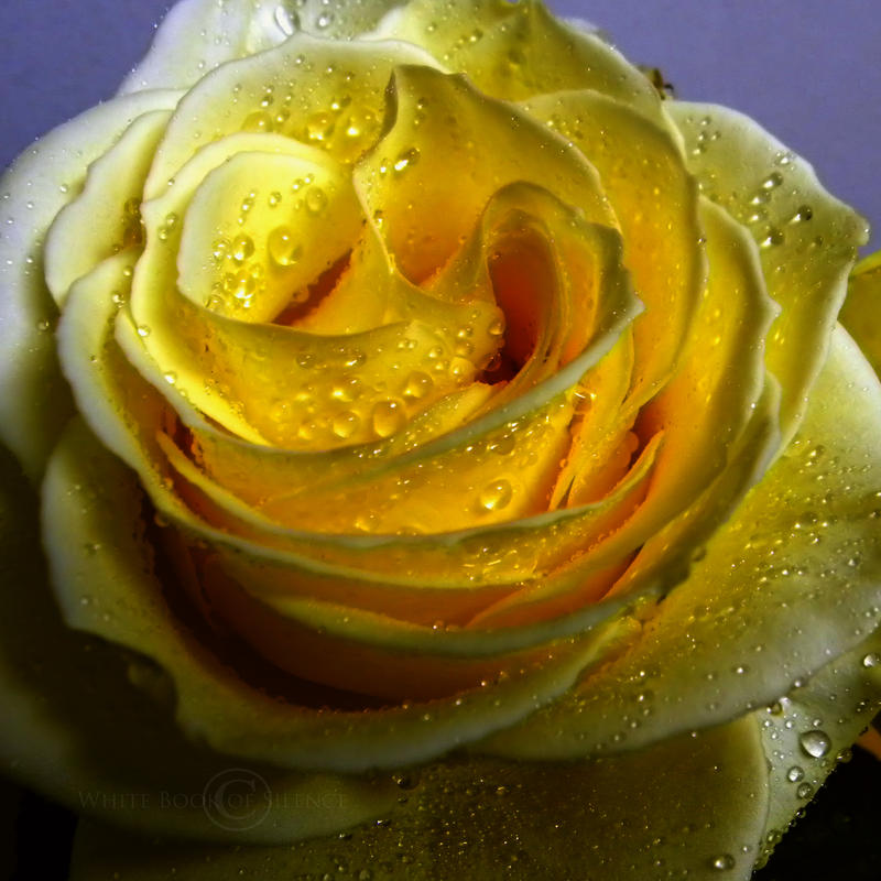The light inside a yellow rose by WhiteBook