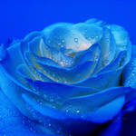 The mystery of a blue rose