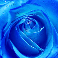 The mystery of a blue rose II by WhiteBook
