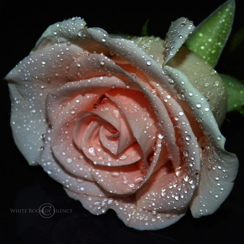 The Sensitivity Of a Rose by WhiteBook