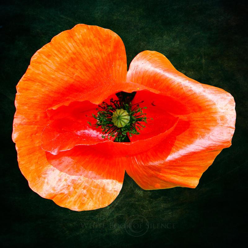 Poppy by WhiteBook