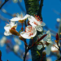 My memories of Spring... by WhiteBook