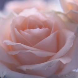 The softness of a rose...
