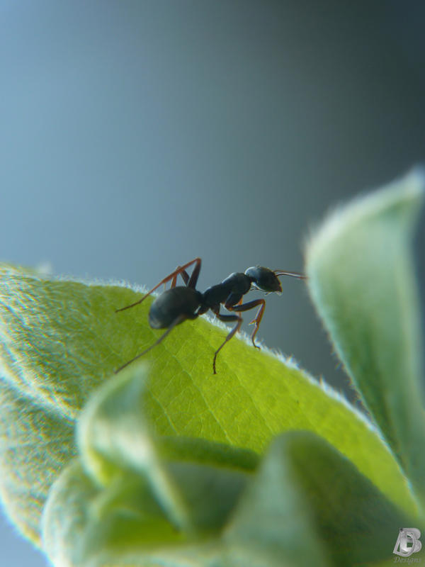 Ant on a Leaf by IndianRain