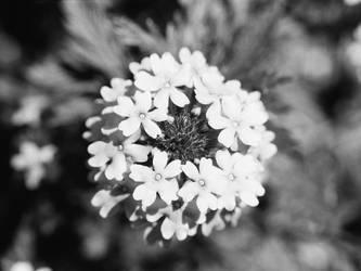 Flowers in Black and White by CopperMistral