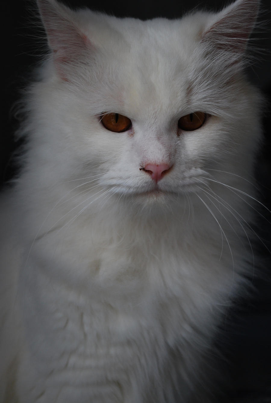 White cat in orange eye by cagraphos on DeviantArt White Cat With Orange Eyes