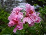 Little Girl, er, Flower Pink