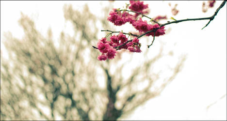 Cherry Blossom by cathyss02