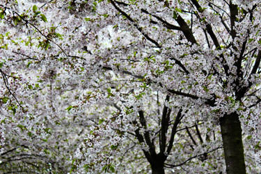 Among the Cherry Trees...