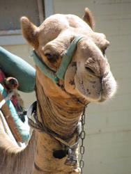 Egyptian Camel by stepsolightly