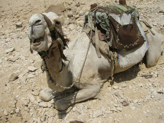 A Very Happy Camel? by stepsolightly