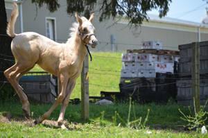 Palomino Foal Stock 8 by iRideOn