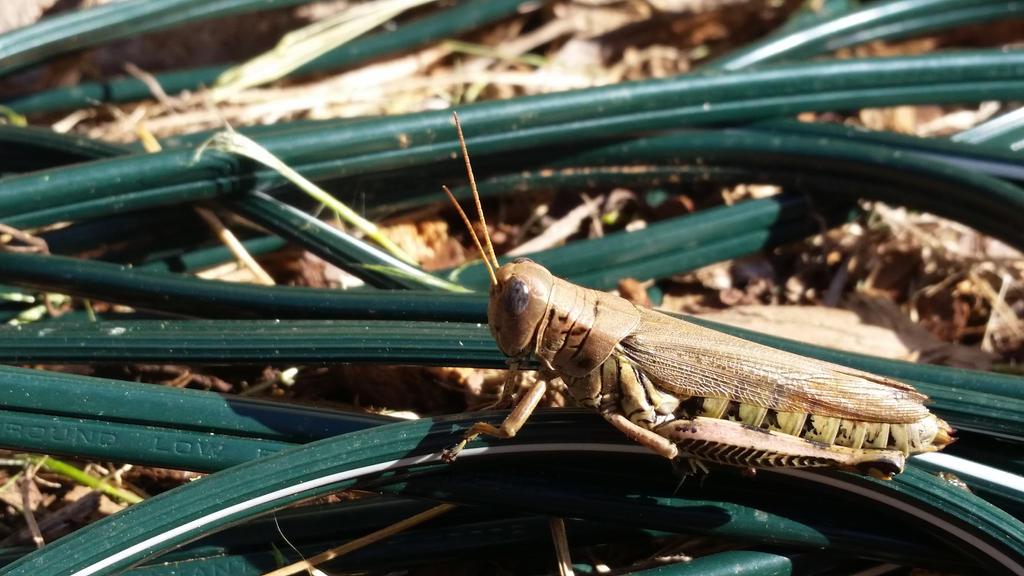 Glassy-eyed Grasshopper by DarkeRoseWolf