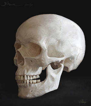 Homosapien Skull