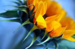 Sunflower by datkin