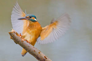 Alcedo Atthis by kompast