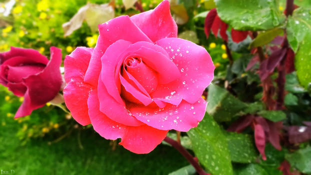 Rose's Power