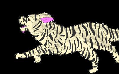 Breedable male Border Collie: Tiger