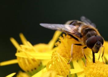 hovverfly macro by rebel-xti