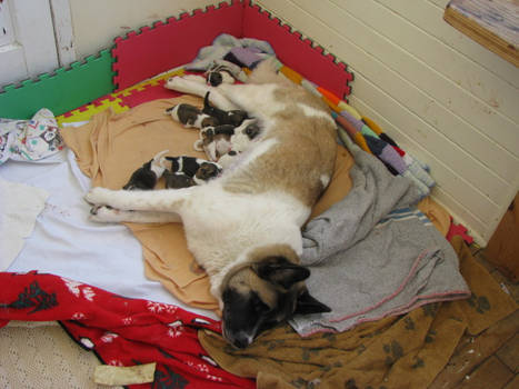 Sleeping mom nursing pups