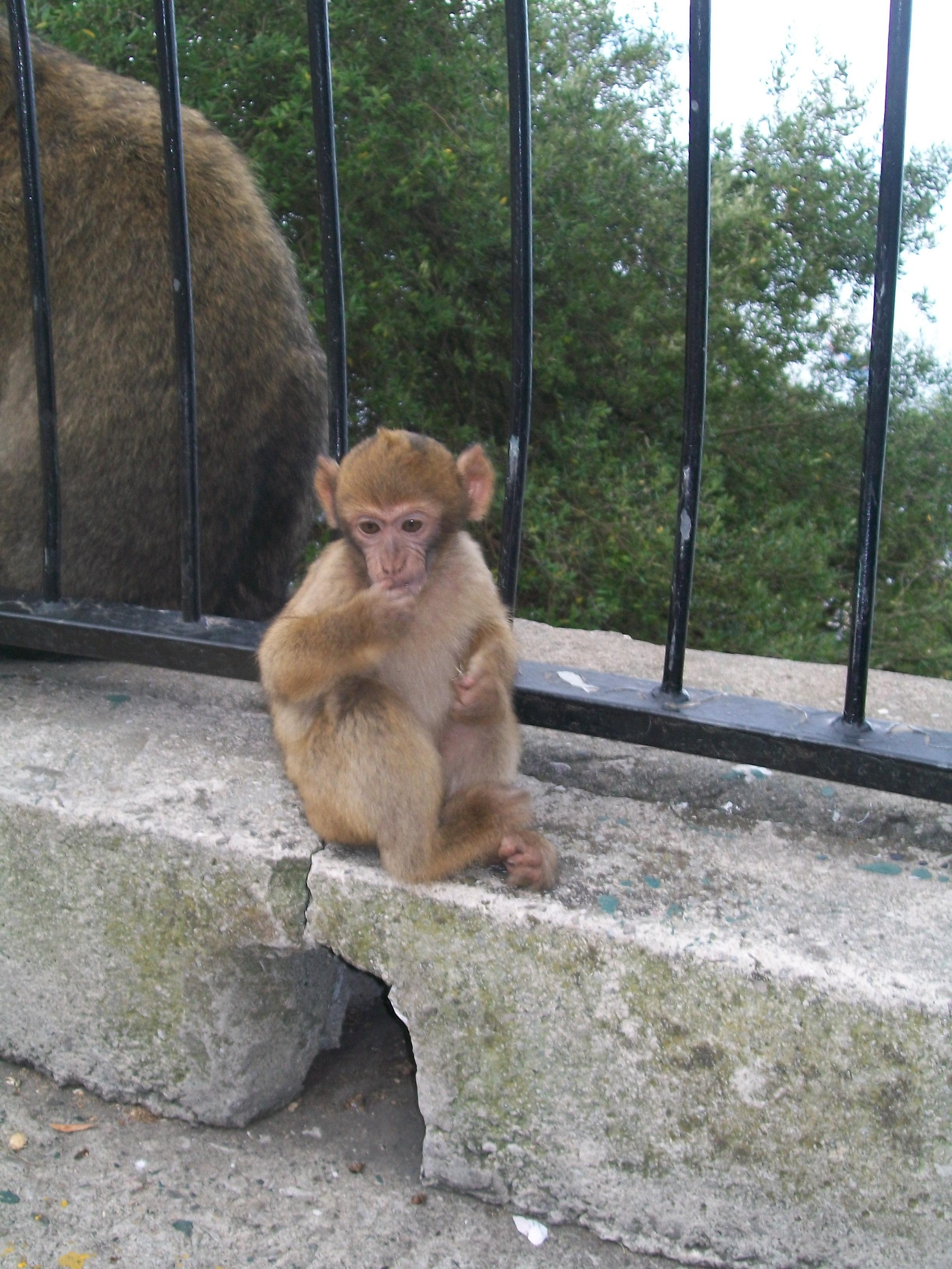 Gibraltar Gibraltar_monkeys_3_by_jon_tan-d33korg