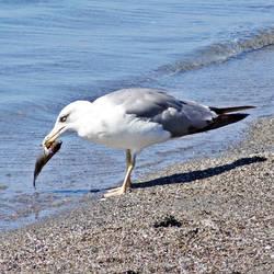 A Seagull in Kalamata 2