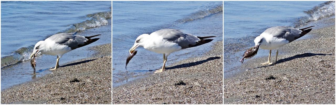 A Seagull in Kalamata (all)