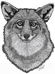 Coyote Gaze