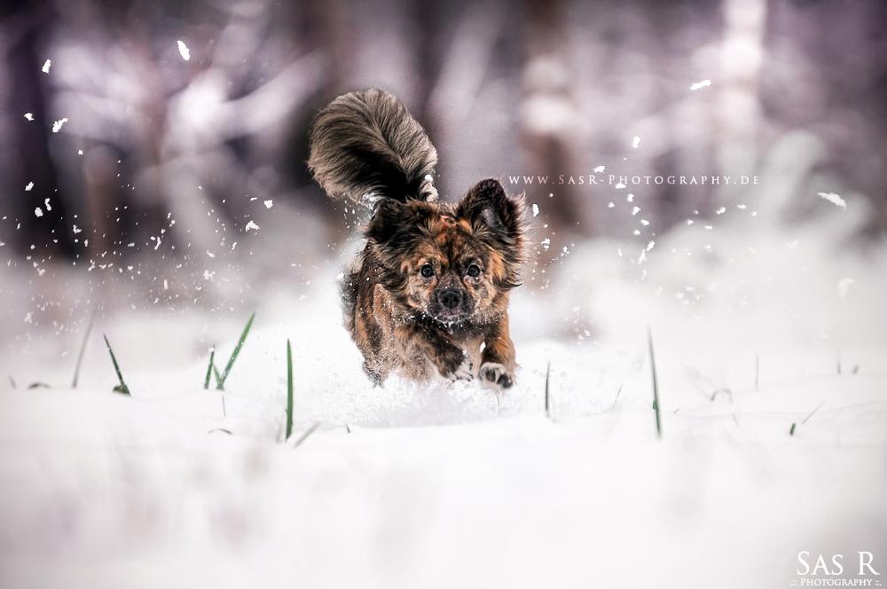 Little Snowwolf by wind-princess
