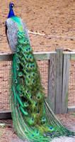 Peacock by yellerdawgs