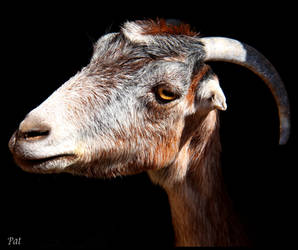 A goat by Patguli