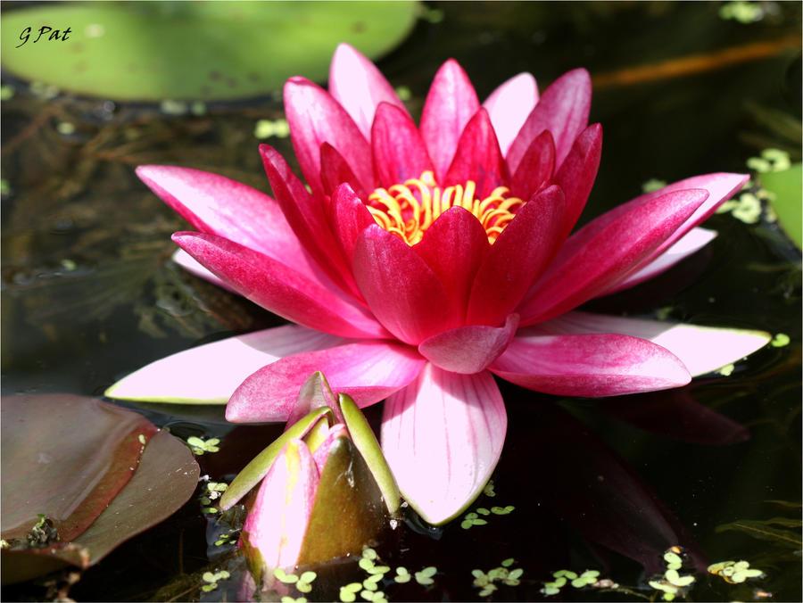 Fleur de lotus by Patguli
