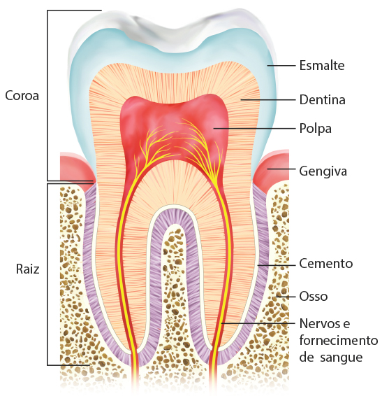 Teeth anatomy by HUD-HUDSON
