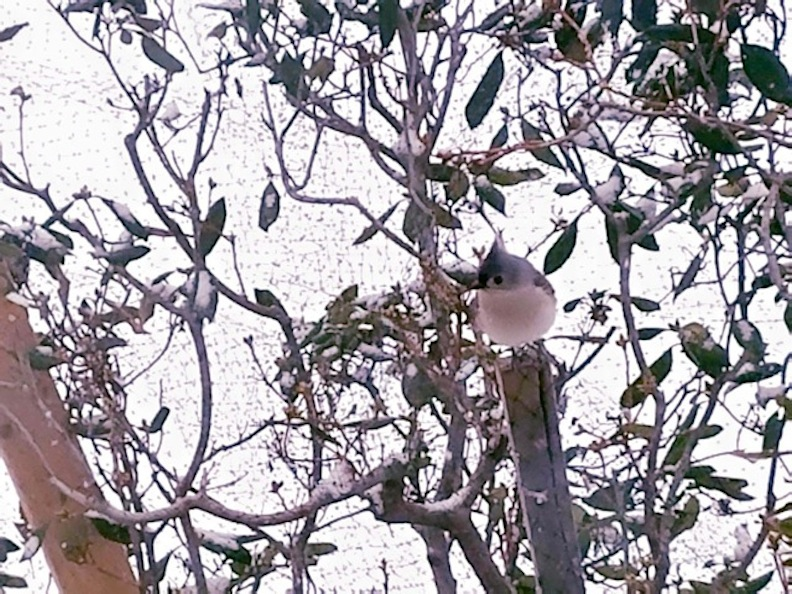 Tufted Titmouse Cheerful Despite Winter Storm by Darkendrama