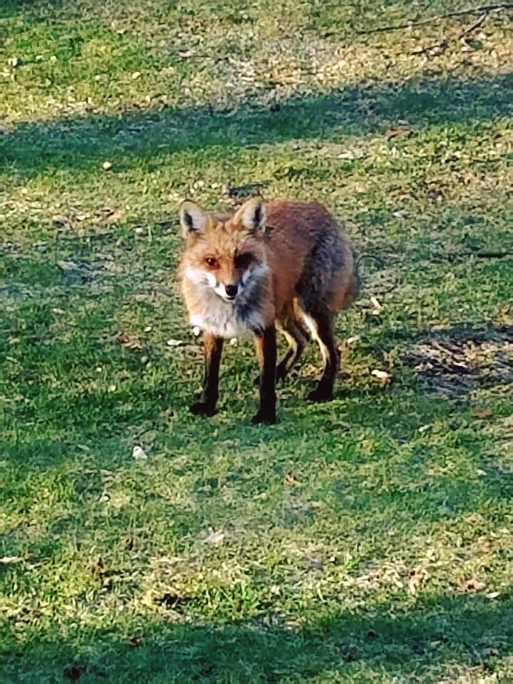 Fantastic Mr. Fox Pays Me A Visit by Darkendrama