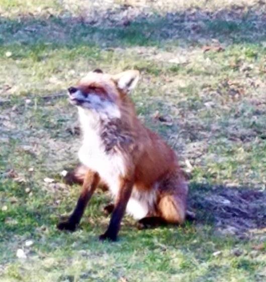 Fox Bathing in Morning Sun by Darkendrama