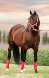 Stock Horse 16