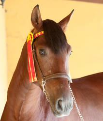 Stock Horse 18